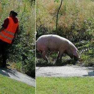 Кумановец си ја шета свињата низ улиците и булеварите на градот