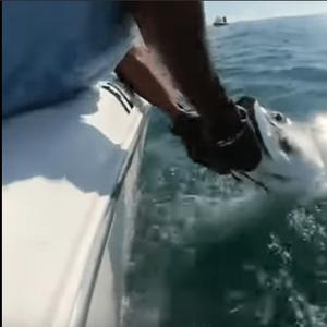 АЈКУЛА МУ ЈА ЗЕМА РИБАТА ОД РАЦЕ: Улови риба од 80 килограми и за малку и самиот ќе станеше плен