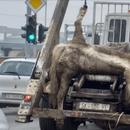 ВОЗНЕМИРУВАЧКО ФОТО: Мртов коњ обесен на камион низ улиците на Скопје