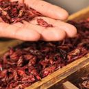 JEŠĆEMO INSEKTE?! Evropska unija će uskoro odobriti kupovinu insekata za jelo, na meniju CRVI, CVRČCI I SKAKAVCI?!