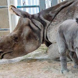 Се роди првиот носорог во светот зачнат со вештачко оплодување
