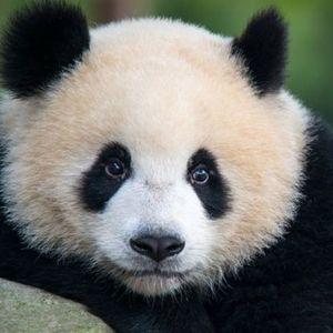 Фрлаа камења по пандата