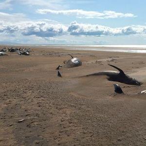 Видео: Повеќе од 50 мртви китови на брегот во Исланд