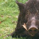 Почна вонредниот отстрел на диви свињи