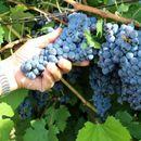 Министерот за земјоделство ќе се сретне со лозари и винари, ќе се разговара околу откупот на грозјето