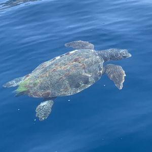 Огромна желка плива во близина на една плажа во Хрватска