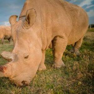Очаен обид за спас на белите носорози- Извадени јајце клетки од последните две женки