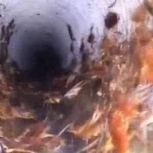 По пожарите и поплавите, Австралија се соочува со инвазија на опасни инсекти (ВИДЕО)