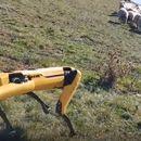 Виде: Куче робот чува овци