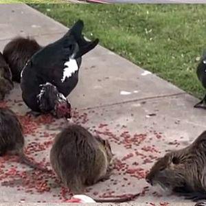 """Парк во САД ,,нападнат"""" од огромни стаорци"""