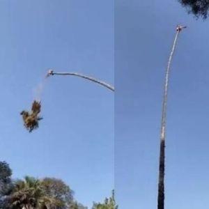 Американец се обидел да отсече врв од палма,не помина добро