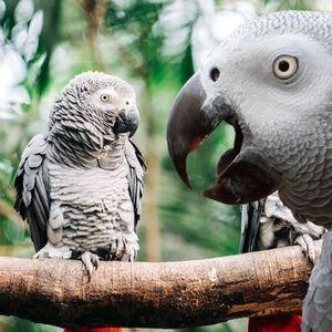 Папагали отстранети од зоолошка,зашто меѓусебе се научиле да ги пцујат посетителите