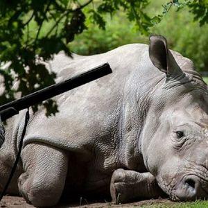 Научниците се обидуваат да го спречат изумирањето на белите носорози, останале само две женки