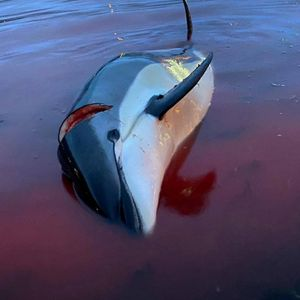 По масакрот на делфини, што го шокира светот, се огласи и премиерот: Ќе мора нешто да смениме