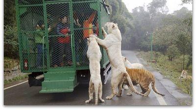 Необична зоолошка градина во Кина | Луѓето во, животните вон кафез