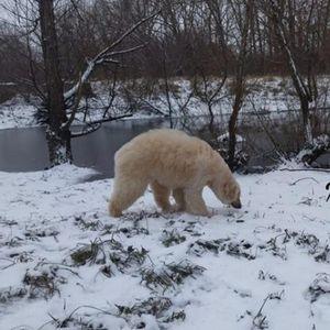 Очите ве лажат, ова не е поларна мечка: Ако сте љубител на кучиња, ова видео ќе ве расположи до максимум (ВИДЕО)