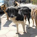 Ниту штроењето, ниту стационарите дадоа резултат, во Скопје има скоро 10.000 кучиња скитници