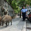 Диви свињи слободно се шетаат по улиците на Хонг Конг