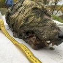 Во Сибир пронајдена целосно сочувана глава на волк стара 40 000 години