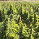 Запленета најголемата плантажа со марихуана во Европа