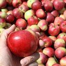СДСМ: Исплатени 106 милиони денари за дополнителна субвенција за килограм предадени јаболка