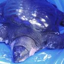 Почина многу ретка желка со мек оклоп во Кина, има само три во светот
