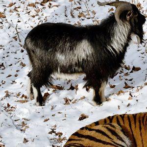 Почина Тимур, јарецот од руската зоолошка градина познат по пријателството со тигар