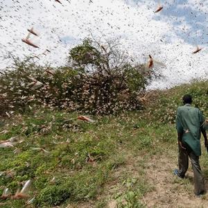 (Видео) Страшна инвазија на скакулци во Африка, надлежните стравуваат дека ќе донесат глад за населението