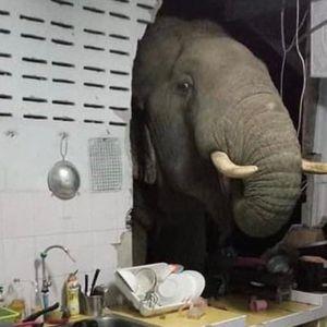 Среде ноќ затекнала слон во кујната кој си барал храна