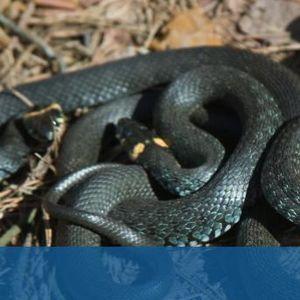 Змии може да са предали на хората мистериозния коронавирус
