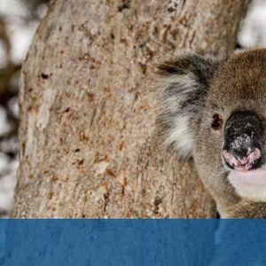 След пожарите: Роди се първото бебе коалав австралийски зоопарк
