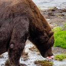 A big red reason not to dig a mine in Alaska's fat bear country