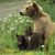 A cub died on the bear cams, a testimony of the harsh bear world