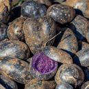 UKUSAN I ZDRAV: Plavi krompir – omiljeno jelo Maja i Inka