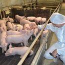 Недимовиќ: Африканска чума на четири свињарски фарми во Србија