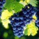 Лозарите и винариите без договор за откупната цена на грозјето