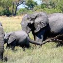 Стотици слонови најдени угинати во Боцвана