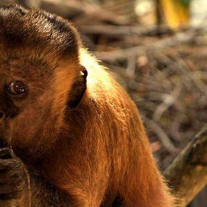 Търсят съпруга на 19-годишна маймуна с лице на изтормозен мъж