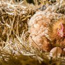 Кокошка снесе яйце с датата на Апокалипсиса (ВИДЕО+СНИМКИ)