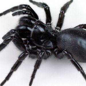 ЗАРАДИ ВЛАГАТА И ЖЕГАТА: Смъртоносни паяци излязоха в Австралия