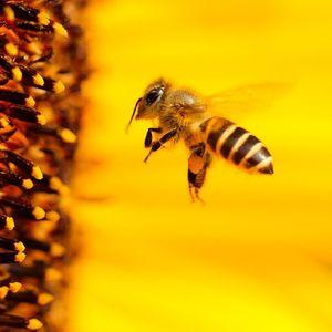 КРАТКО И СЛАТКО: Што би се случило ако пчелите исчезнат?