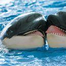POLJUBAC POMIRENJA Naučnici ostali u šoku kada su otkrili ovakvo ponašanje kitova: Nikad ranije ovo nismo videli!