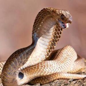 Наишла на змија во градината - кобрата се подготвувала да ја нападне, па жената брзо регирала