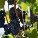 Министерот за земјоделство ќе се сретне со лозари и винари за откупот на грозјето