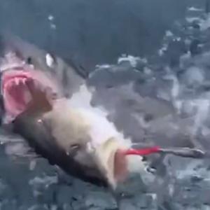 Семејство во шок откако ајкула им ја украде свежо заловената риба