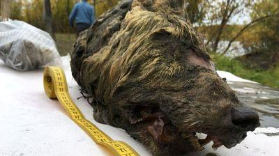 Глава од волк замрзната 40 илјади години пронајдена во Сибир