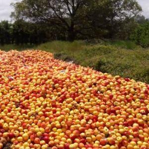Земјоделците ги  фрлааат јаболките, а МЗШВ вели – нема застој во откупот
