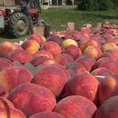 Земјоделец ги сече насадите со праски револтиран од ниската откупна цена