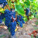 Лозарите најавија протести, бараат повисока откупна цена на грозјето