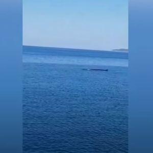 Се појави огромен кит на крајбрежјето во Далмација